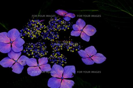 紫陽花の写真素材 [FYI01205287]