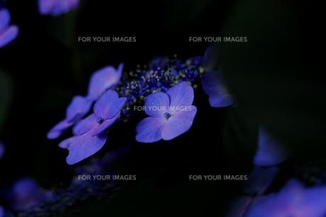 紫陽花の写真素材 [FYI01205288]