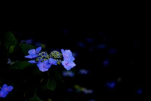 紫陽花の写真素材 [FYI01205290]