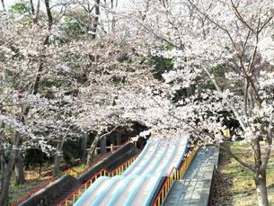 綺麗に咲いているサクラと公園の滑り台-3月の大阪府池田市-の写真素材 [FYI01205321]