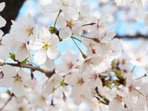 綺麗に咲いているサクラ-3月の兵庫県宝塚市-の写真素材 [FYI01205324]