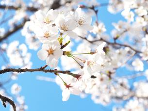 綺麗に咲いているサクラ-3月の兵庫県宝塚市-の写真素材 [FYI01205325]