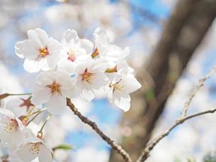 綺麗に咲いているサクラ-3月の兵庫県宝塚市-の写真素材 [FYI01205326]