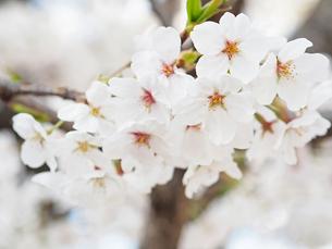 綺麗に咲いているサクラ-3月の兵庫県宝塚市-の写真素材 [FYI01205327]