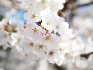 綺麗に咲いているサクラ-3月の兵庫県宝塚市-の写真素材 [FYI01205329]