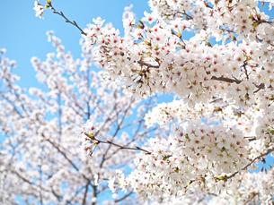 綺麗に咲いているサクラ-3月の大阪府大阪市大阪城公園-の写真素材 [FYI01205331]