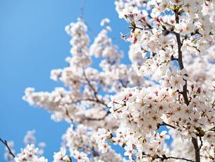 綺麗に咲いているサクラ-3月の大阪府大阪市大阪城公園-の写真素材 [FYI01205332]