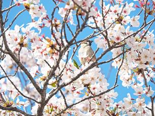 綺麗に咲いているサクラとスズメ-3月の大阪府大阪市大阪城公園-の写真素材 [FYI01205340]