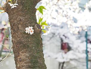 綺麗に咲いているサクラ-3月の兵庫県宝塚市-の写真素材 [FYI01205342]