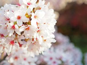 綺麗に咲いているサクラ-4月の京都府嵐山-の写真素材 [FYI01205346]