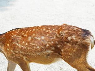 可愛い鹿の背中-8月の奈良県奈良市奈良公園-の写真素材 [FYI01205359]