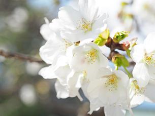 綺麗に咲いているサクラ-3月の兵庫県宝塚市-の写真素材 [FYI01205380]