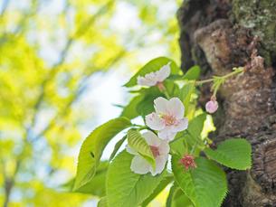 綺麗に咲いているサクラ-4月の京都府京都市-の写真素材 [FYI01205381]