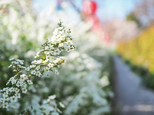 綺麗に咲いているユキヤナギ-3月の兵庫県宝塚市-の写真素材 [FYI01205422]