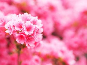 綺麗に咲いているツツジ-4月春の兵庫県宝塚市-の写真素材 [FYI01205605]