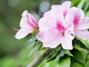 綺麗に咲いているツツジ-4月春の兵庫県宝塚市-の写真素材 [FYI01205611]