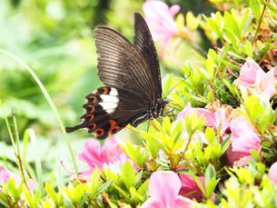綺麗に咲いているツツジの蜜を吸うクロアゲハ-6月夏の滋賀県高島市琵琶湖-の写真素材 [FYI01205612]