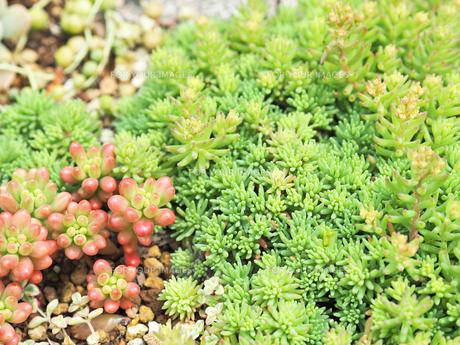 たくさん生えている多肉植物 - 4月 春 昼間 日本 兵庫県 宝塚市 -の写真素材 [FYI01205627]