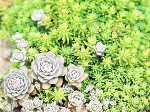 たくさん生えている多肉植物 - 4月 春 昼間 日本 兵庫県 宝塚市 -の写真素材 [FYI01205628]