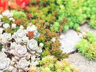 たくさん生えている多肉植物 - 4月 春 昼間 日本 兵庫県 宝塚市 -の写真素材 [FYI01205630]