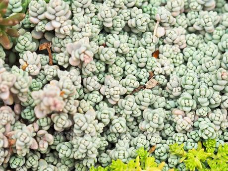 たくさん生えている多肉植物 - 4月 春 昼間 日本 兵庫県 宝塚市 -の写真素材 [FYI01205631]