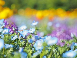 綺麗に咲いているネモフィラ - 4月 春 昼間 日本 大阪府 吹田市 万博記念公園 -の写真素材 [FYI01205642]