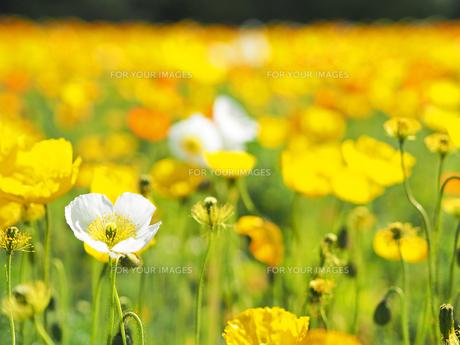 綺麗に咲いているポピーの花 - 4月 春 昼間 日本 大阪府 吹田市 万博記念公園 -の写真素材 [FYI01205662]