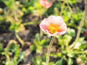 綺麗に咲いているポピーの花 - 4月 春 夕方 夕暮れ 日本 兵庫県 三田市 -の写真素材 [FYI01205669]