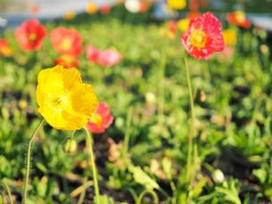 綺麗に咲いているポピーの花 - 4月 春 夕方 夕暮れ 日本 兵庫県 三田市 -の写真素材 [FYI01205671]
