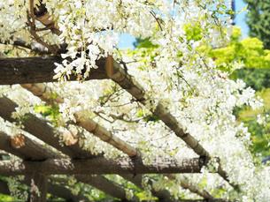 綺麗に咲いている白色のフジの花 - 4月 春 昼間 日本 兵庫県 三田市 -の写真素材 [FYI01205699]