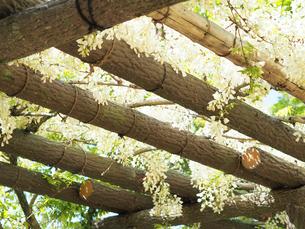 綺麗に咲いている白色のフジの花 - 4月 春 昼間 日本 兵庫県 三田市 -の写真素材 [FYI01205700]