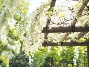 綺麗に咲いている白色のフジの花 - 4月 春 昼間 日本 兵庫県 三田市 -の写真素材 [FYI01205702]