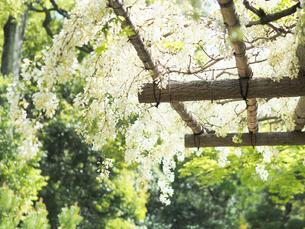 綺麗に咲いている白色のフジの花 - 4月 春 昼間 日本 兵庫県 三田市 -の写真素材 [FYI01205703]