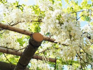 綺麗に咲いている白色のフジの花 - 4月 春 昼間 日本 兵庫県 三田市 -の写真素材 [FYI01205705]