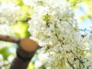 綺麗に咲いている白色のフジの花 - 4月 春 昼間 日本 兵庫県 三田市 -の写真素材 [FYI01205706]