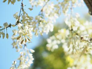綺麗に咲いている白色のフジの花 - 4月 春 昼間 日本 兵庫県 三田市 -の写真素材 [FYI01205707]