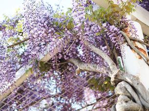 綺麗に咲いている紫色のフジの花 - 4月 春 夕方 夕暮れ 日本 兵庫県 三田市 -の写真素材 [FYI01205708]