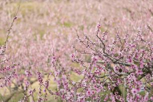 桃の花畑の写真素材 [FYI01205774]