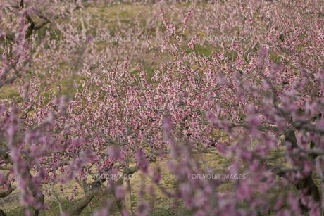 桃の花畑の写真素材 [FYI01205775]