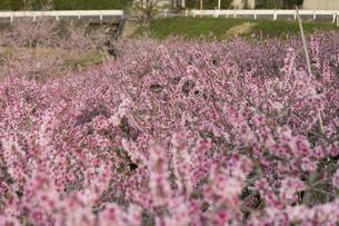 桃の花畑の写真素材 [FYI01205776]