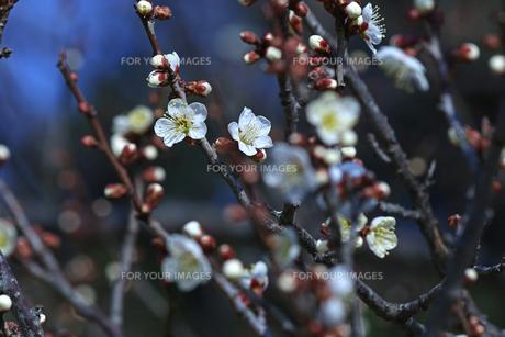 梅の枝と花の写真素材 [FYI01205834]