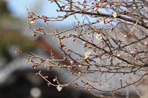 梅の枝と花の写真素材 [FYI01205835]