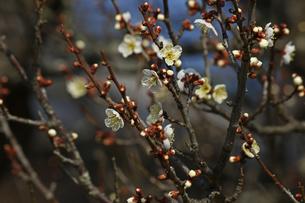 梅の枝と花の写真素材 [FYI01205837]