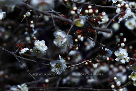梅の枝と花の写真素材 [FYI01205839]