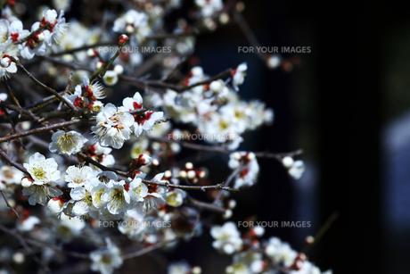 梅の枝と花の写真素材 [FYI01205840]