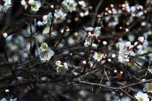 梅の枝と花の写真素材 [FYI01205841]
