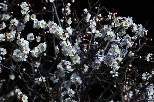 梅の枝と花の写真素材 [FYI01205842]
