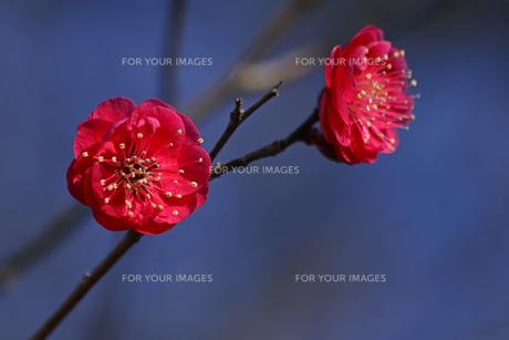 赤色の梅の花の写真素材 [FYI01205846]