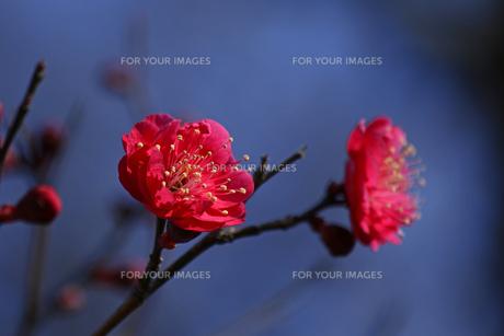 赤色の梅の花の写真素材 [FYI01205847]