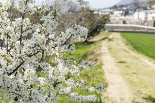 道端の梅の花の写真素材 [FYI01205852]